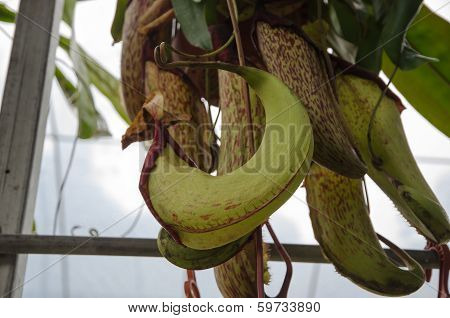 Tropical Pitcher Plant (nepenthes Spp)