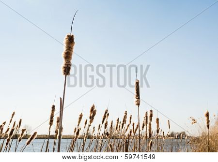 Mature Male Flower Spikes Of Common Bulrush