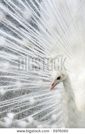 Beautiful White Peacock