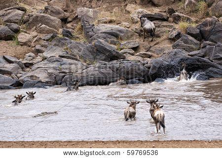 Wildebeests Crossing Mara River