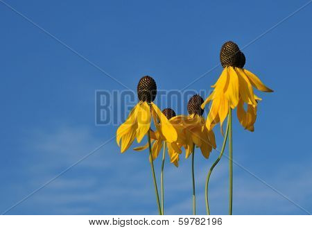 Yellow prairie coneflowers