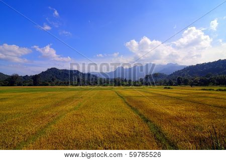 Rich golden paddy fields in srilanka