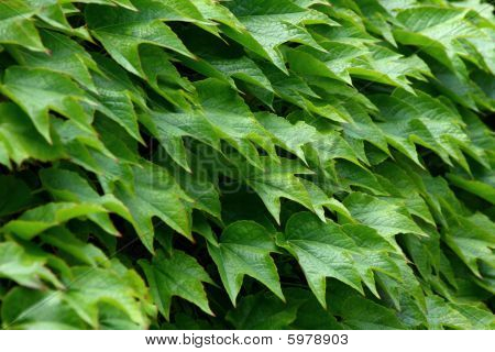 Ivy Green Leafs