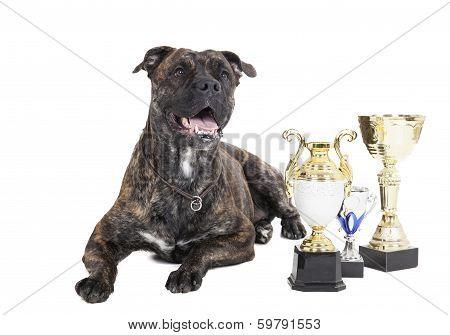 Ca De Bou (mallorquin Mastiff, Mallorquin Bulldog, Perro Dogo Mallorquin, Majorca Mastiff, Majorcan