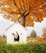 a cute chihuahua in a doghouse out in a yard during fall or autumn weather poster