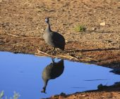 Helmeted Guineafowl at Solitaire Guest Farm namibia poster