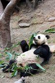 giant panda smelling bamboo leaves in Hong Kong Ocean Park poster