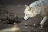 Arctic Wolf (Canis lupus arctos) aka Polar Wolf or White Wolf poster