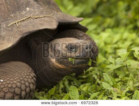 Giant galapagos tortoise (geochelone elephantopus) chewing on some grass. This endangered species is endemic to the Galapagos Islands. poster