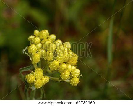Flowers Of Helichrysum Arenarium