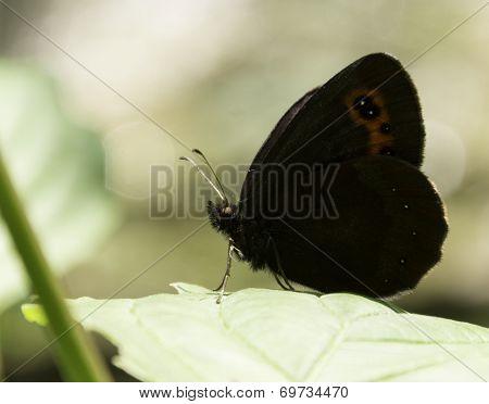 Gatekeeper butterfly on a leaf