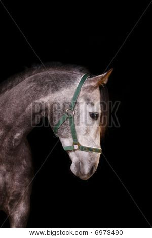Horse Indoors, On Black