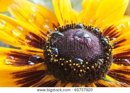 Dew On A Flower Calendula