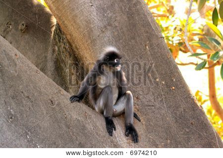Dusky Leaf Monkey - Semnopithecus Obscurus - Sitting In A Morton Bay Fig Tree