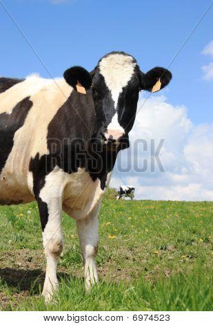 Holstein Dairy Cow Head