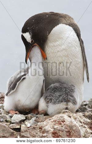 Gentoo Penguin Female That Feeds One Of The Chicks In The Nest