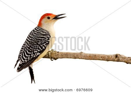 profile of red-bellied woodpecker with beak open perched on a branch; white background poster