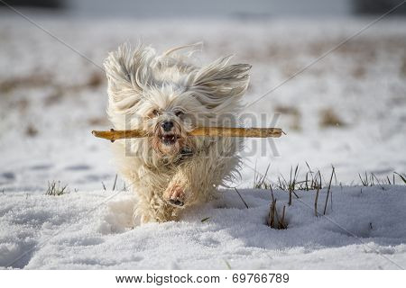 Havanese When Retrieving