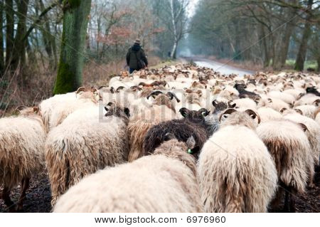 Sheep flock with herd in winter at Dutch landscape poster
