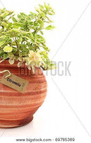 Fresh citronella plant in a clay pot