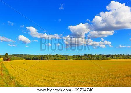 Farmer field of wheat background