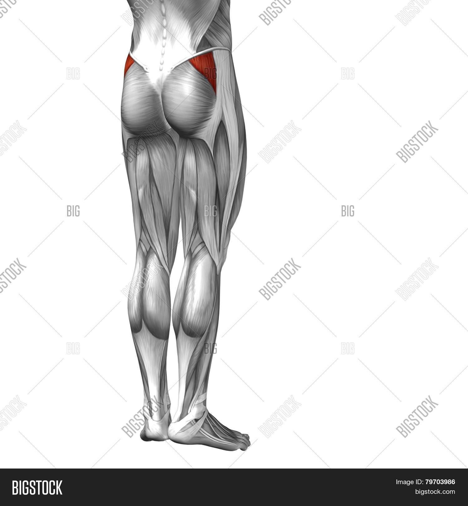 Ziemlich Gluteus Medius Anatomie Ideen - Menschliche Anatomie Bilder ...