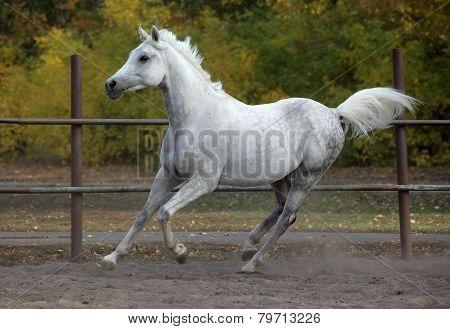 Young arabian horse stallion galloping