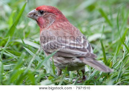 Red Male House Finch