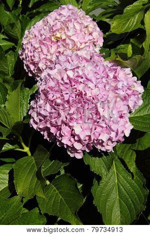Pink Hydrangea or