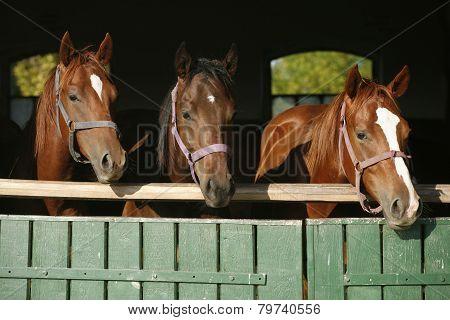 Nice Thoroughbred Foals Looking Over The Stable Door