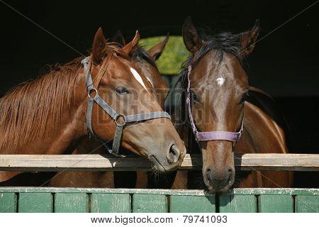 Nice Thoroughbred Foals In The Stable Door