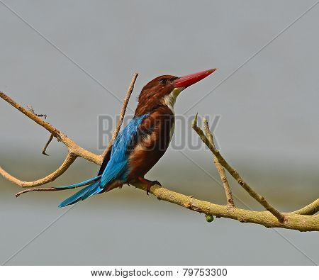 Beautiful white-throated kingfisher (Halcyon smyrnensis) on a branch
