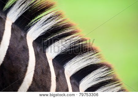 zebra wool, may use as background