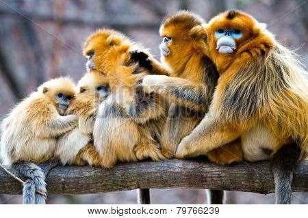 Big Golden Monkey Family