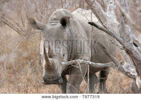 White rhinoceros Sabi Sands Kruger National Park South Africa poster
