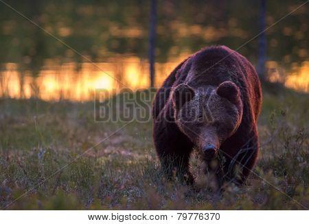 A dangerous bear