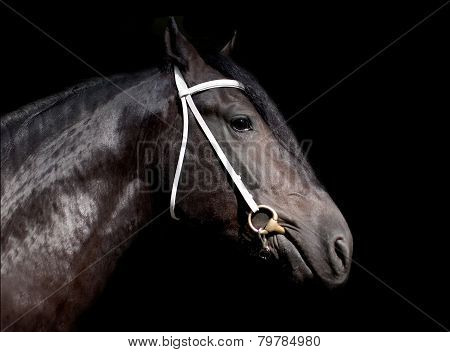 Shire Stallion Isolated On The Black Background