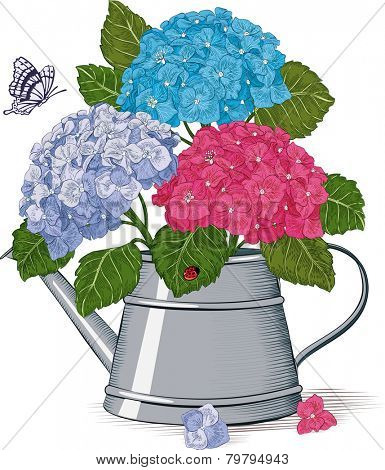 Colorful hydrangea in a watering can isolated on a white background