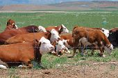 Hereford cattle grazing behind a wire fence. poster