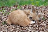 A handsome maned wolf resting in a pile of leaves poster