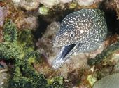 Spotted Moray Eel Close-up in the Caribbean Sea poster