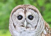 A close-up head shot of a barred owl. poster