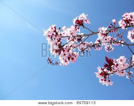Pinp Cherry Blossoms