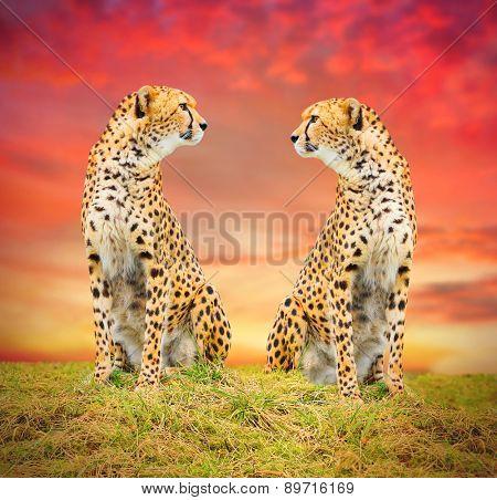 The Cheetah (Acinonyx jubatus) couple in african savanna. Warm filtered look.