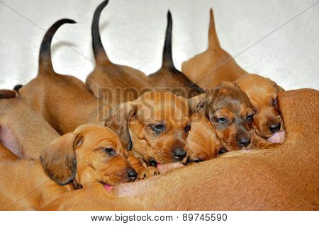 Puppies suck the milk of the mother.Dachshund