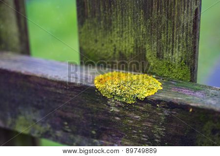 yellow moss growing on a wooden hedge poster