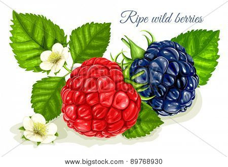 Raspberry and blackberry with leaves and flowers. Vector illustration.
