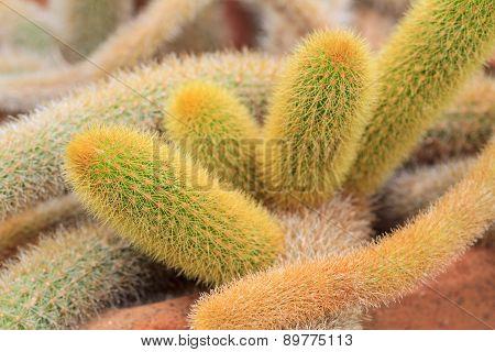 Cleistocactus Winteri Cactus