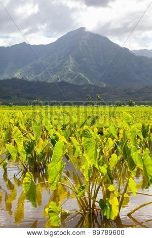 Taro field on tropical Kauai, Hawaii island