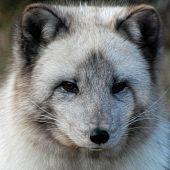arctic fox photo taken at the toronto zoo poster